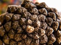 Макрос меньшие ель или лиственница стоковое фото