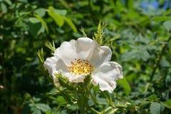 Макрос молодого белого цветка одичалые кавказские плоды шиповника растет стоковое изображение