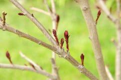 Макрос молодой ветви дерева с бутонами весной на предпосылке зеленой травы Стоковое фото RF