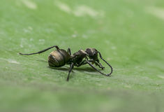 Макрос муравья Стоковая Фотография RF