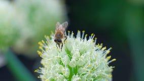 Макрос - муха пчелы к цвести цветку, собирает нектар сток-видео