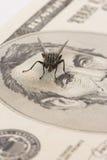 макрос мухы доллара Стоковое Изображение