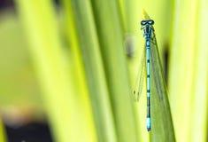 Макрос мухы дракона на лист Стоковые Изображения