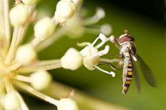 Макрос мухы зависать собирая нектар на цветке Стоковая Фотография RF