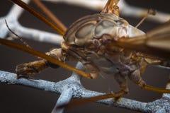 Макрос мухы крана Стоковые Изображения