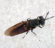 Макрос мухы лошади - Tabadinae Стоковые Изображения RF