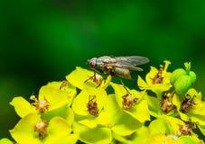 Макрос мухы насекомого на цветках Стоковые Фото