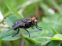 Макрос мухы насекомого Стоковое Изображение