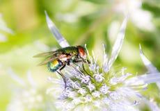 Макрос мухы на цветении Стоковые Фото