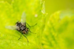 Макрос мухы дома Стоковые Фото
