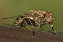 макрос мухы падения Стоковая Фотография