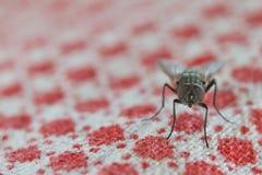 Макрос мухы пока ел Стоковое Изображение RF