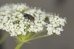 Макрос мухы пока ел Стоковое Изображение