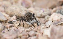 Макрос мухы разбойника на скалистой земле Стоковые Фотографии RF