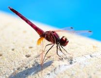 Макрос мухы дракона Стоковая Фотография