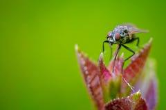 Макрос мухы сидя на цветке Стоковое Изображение