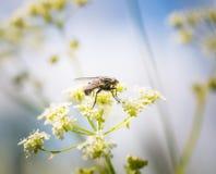 Макрос мухы сидя на заводе Стоковое Фото