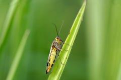 Макрос мухы скорпиона Стоковые Фотографии RF