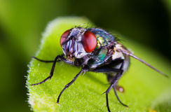 макрос мухы Стоковое Изображение