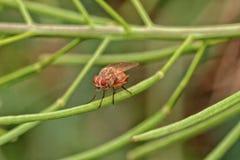 Макрос мухы Lauxaniid Стоковая Фотография RF