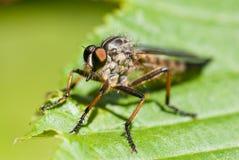 макрос мухы snipe Стоковое Изображение RF