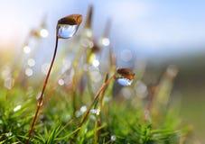 Макрос мха с падениями росы Стоковое Фото
