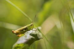 Макрос насекомого сверчка Стоковое Изображение RF