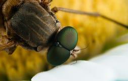 Макрос насекомого Стоковое Изображение