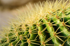 Макрос на терниях кактуса Стоковые Изображения RF