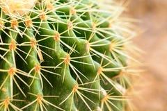 Макрос на терниях кактуса Стоковая Фотография