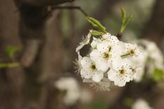 Макрос небольшого пука цветков груши стоковая фотография