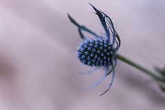 Макрос одиночного цветка Eryngium голубого thistle Стоковая Фотография