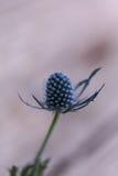 Макрос одиночного цветка Eryngium голубого thistle Стоковые Изображения RF