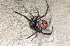 Макрос паука Redback Стоковые Изображения