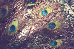 Макрос пера павлина ретро Стоковые Изображения