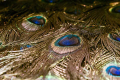 Макрос пера павлина Стоковая Фотография RF