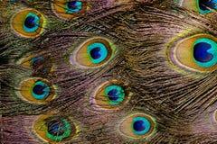 Макрос пера павлина Стоковые Фотографии RF