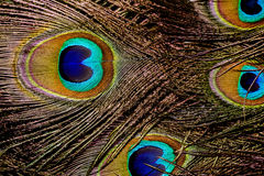 Макрос пера павлина Стоковое фото RF