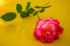 Макрос поднял с желтой предпосылкой 2 стоковые фотографии rf