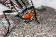 Макрос портрета мухы Стоковое Фото