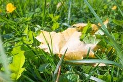 Макрос предпосылки солнца зеленой травы упаденный лист Стоковое Фото