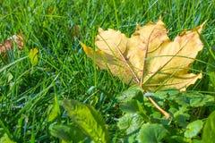 Макрос предпосылки солнца зеленой травы упаденный лист Стоковое фото RF