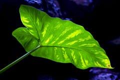 Макрос предпосылки closreen чернота   лист и его вены в li Стоковые Изображения