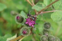 Макрос пушистого кавказского rotundata Megachile leafworm пчелы на pu Стоковое фото RF