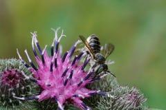 Макрос пушистого серого кавказского cutt лист rotundata Megachile пчелы Стоковые Изображения RF