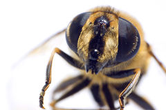 макрос пчелы Стоковая Фотография