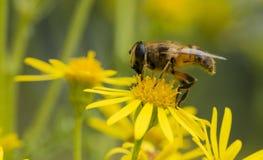 Макрос пчелы на желтом цветке Стоковое Изображение
