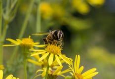 Макрос пчелы на желтом цветке Стоковые Изображения