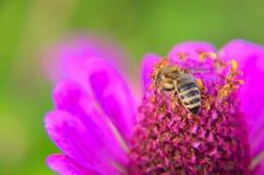 Макрос пчелы собирая цветень на elegans декоративных zinnia цветка сада Стоковое Фото
