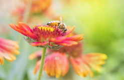 Макрос пчелы с свежими цветками Стоковая Фотография RF